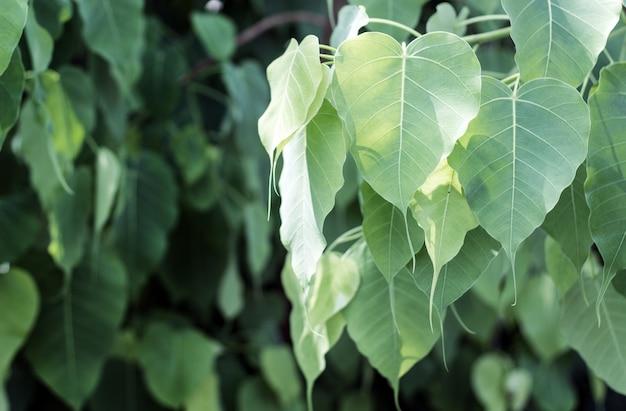 Bodhi leaf on tree
