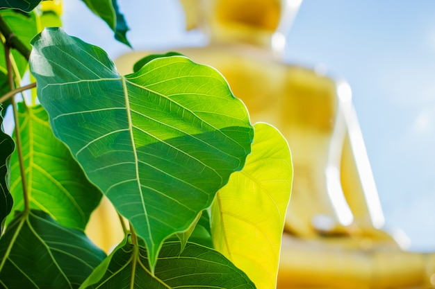 Bodhi or peepal leaves with buddha statue and blue sky background.