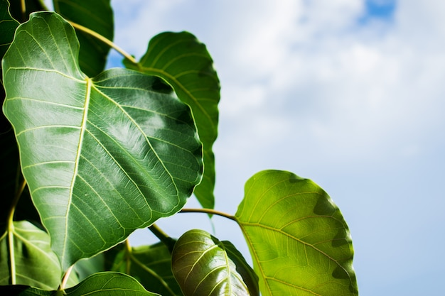 Bodhi or peepal leaves with sky background.