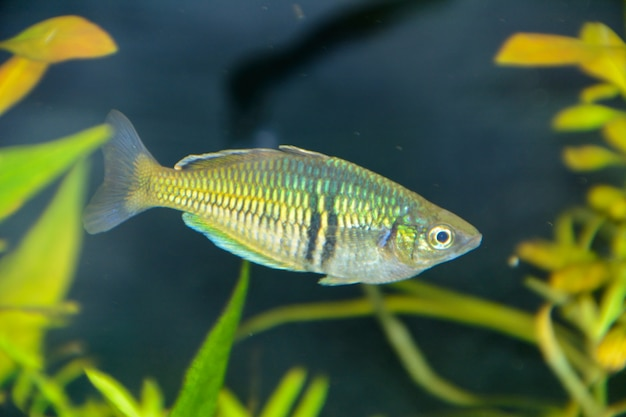 Boesemani 무지개 물고기. 수족관에 있는 melanotaenia 속의 무지개 물고기 암컷. 세계에서 가장 아름다운 민물 수족관 물고기 중 하나입니다.