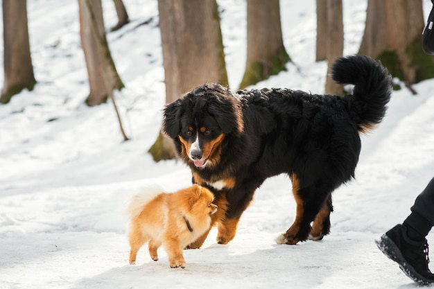 Bog bernese mountain dog plays with a little pekingese in the park