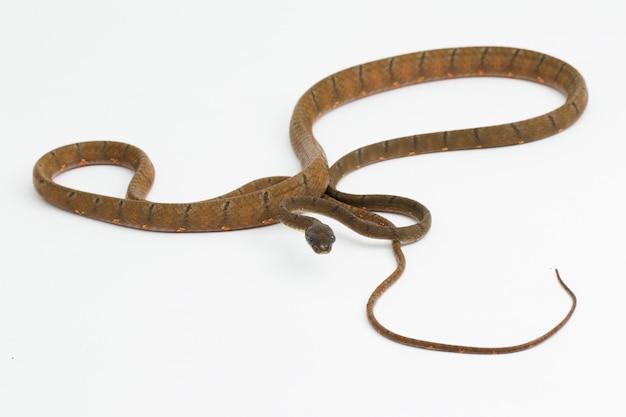 Змея белая пятнистая кошка boiga drapiezii, изолированные на белом фоне
