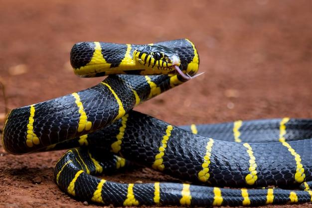 Boiga snake dendrophila yellow ringed head of boiga dendrophila