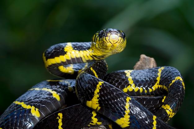 보이가 뱀 덴드로필라 노란색 고리가 보이가 덴드로필라 동물 근접 촬영의 머리를 공격할 준비가 되었습니다.