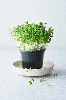 접시에 냄비에 청경채 마이크로 그린. aragula, 식용 뿌리 채소, 수직
