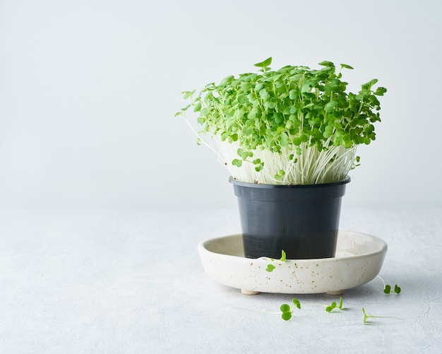 Bok choy microgreens in pot on plate