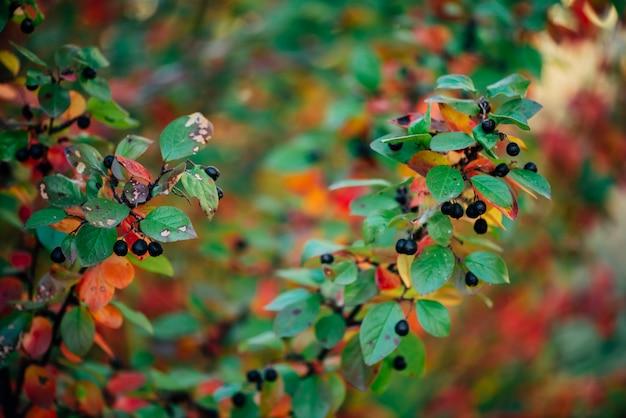Ягода на ветви кизильника на предпосылке bokeh падения. куст толокнянки с осенними листьями крупным планом. осенью разноцветные листья зеленого, красного, желтого, оранжевого цветов. осенний фон с красочной богатой флорой.