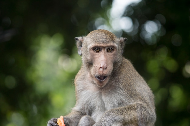 Портрет обезьяны сидя и жуя еду на зеленой предпосылке bokeh леса. макака обезьяна с коричневым мехом.