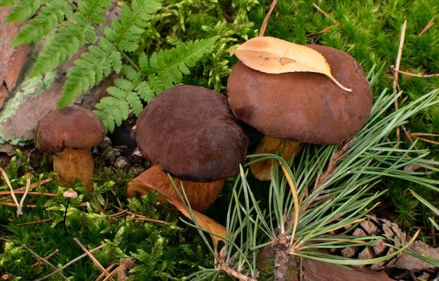 緑の苔でヤマドリタケやベイボレタケ。自然の野生の森のキノコ