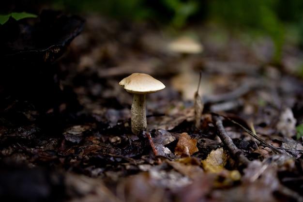 Подберезовик, вкусный гриб в летнем лесу. долгожданная находка для грибника. ценный и вкусный кулинарный ингредиент.
