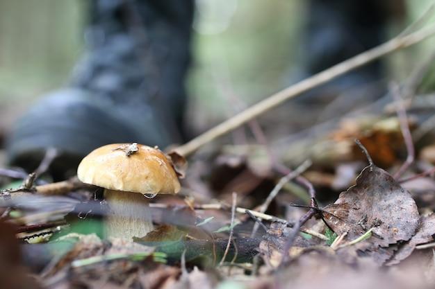 Подберезовики грибовидный человек