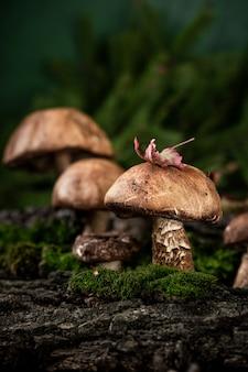 森で育つポルチーニ茸(leccinum scabrum)