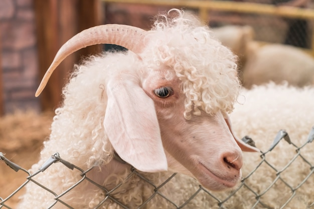 농장에서 볼리비아 염소