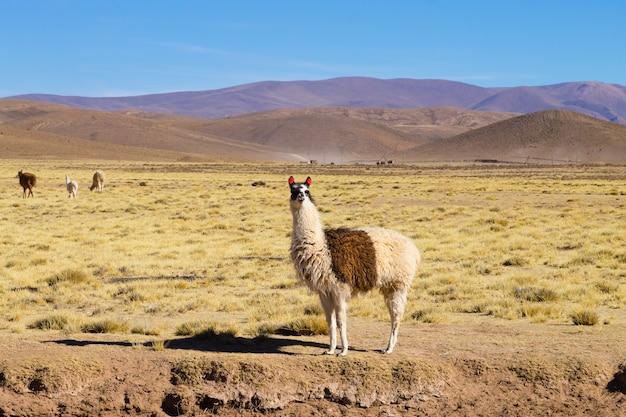 안데스 고원에서 번식하는 볼리비아 라마