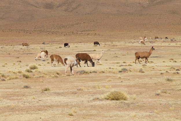 牧草地で放牧しているボリビアのラマ