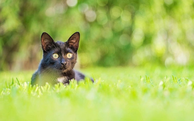 Bombay black cat portrait with yellow eyes and attentive look in green grass in nature in garden
