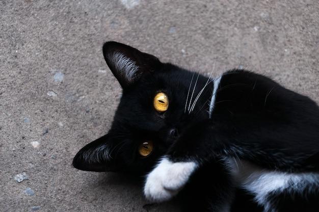 봄베이 검은 고양이 노란 눈 바닥에 휴식