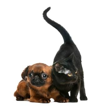 화이트 절연 쁘띠 brabancon 옆에 서있는 봄베이 고양이