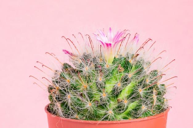 Закройте вверх зацветая кактуса bombycina маммиллярии на розовой предпосылке.