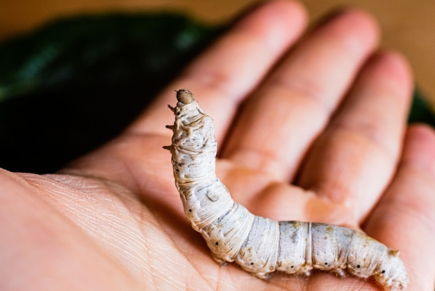 Bombyx mori, silkworm, on the palm of a person's hand.