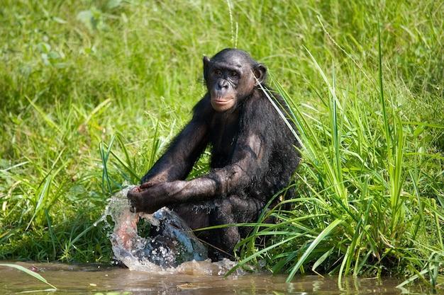 Bonobo is playing with water. democratic republic of congo. lola ya bonobo national park.