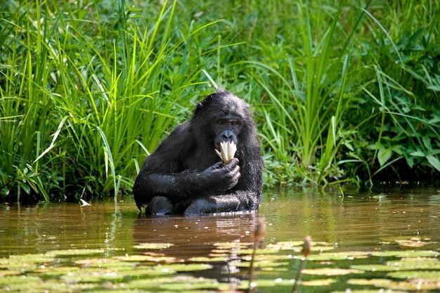 ボノボは池に座っています。コンゴ民主共和国。ローラヤボノボ国立公園。