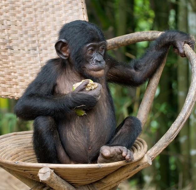 ボノボは椅子に座っています。コンゴ民主共和国。ローラヤボノボ国立公園。