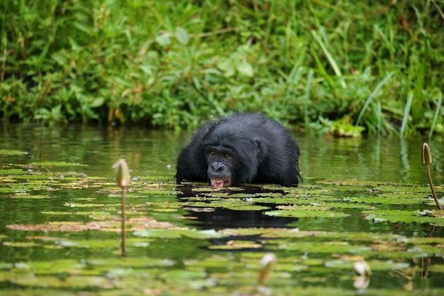 ボノボは水に腰を下ろし、食べ物を手に入れようとしています。コンゴ民主共和国。ローラヤボノボ国立公園。