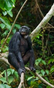 나무에 보노보. 콩고 민주 공화국. lola ya bonobo 국립 공원.