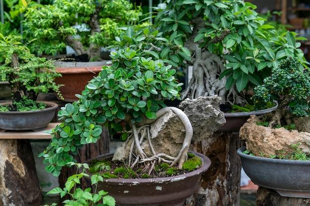 盆栽は縮んだ小さな木です。 Premium写真