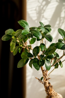 Bonsai ginseng or ficus retusa also known as banyan or chinese fig tree.small bonsai ficus microcarpa ginseng plant on a white background, sunny rays.