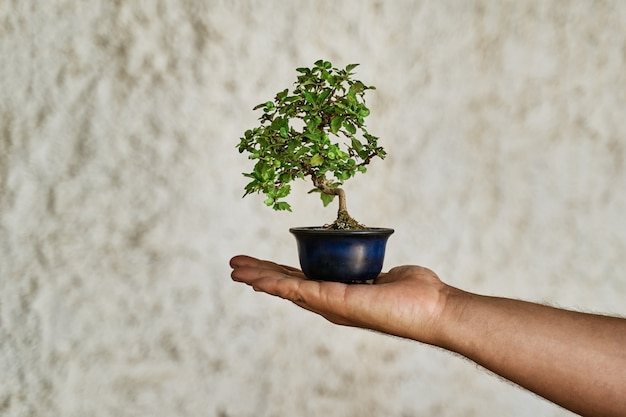 Bonsai plant on the palm of the hand. gardening concept.