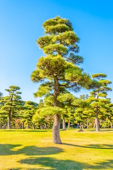 Bonsai tree in the garden of imperial palace at tokyo city japan