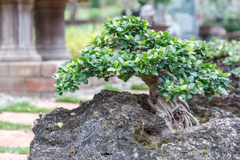 Bonsai tree on ceramic pot in bonsai garden. Small bonsai for interior exterior decoration