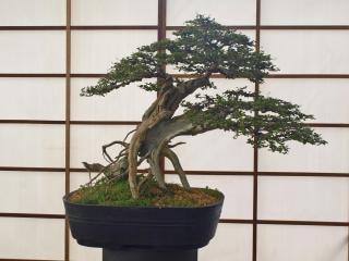 Bonsai, tree