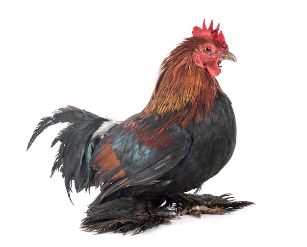 Booted bantam isolated