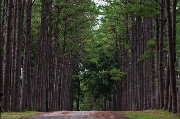 Сосновый лес в общественном парке bor keaw, чиангмай, таиланд