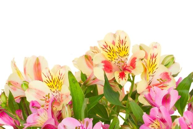 Border  of alstroemeria flowers isolated on white background