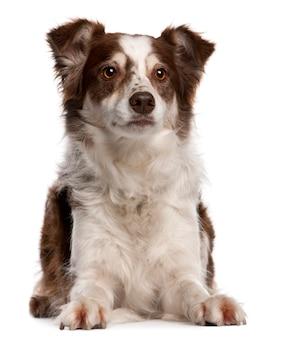 8 개월 된 보더 콜리. 고립 된 개 초상화