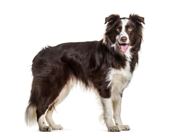 보더 콜리 개, 2 세, 흰색 배경에 서