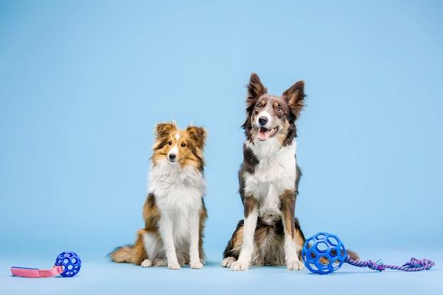 Бордер-колли и шетландская овчарка в фотостудии на синем фоне