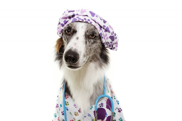 Border collie dog dressed as veterinary wearing stethoscope and cap, hospital gown with serious expression.