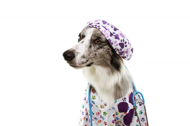 Border collie dog dressed as veterinary wearing stethoscope, cap and hospital gown.