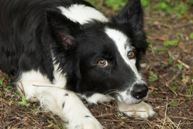Border collie dog in a grass outside