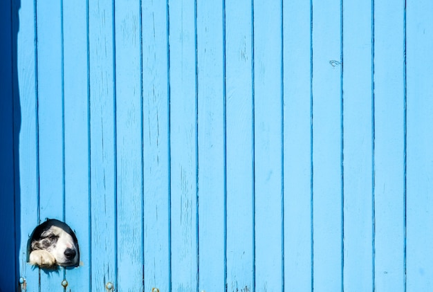 Border collie dog hiding behind a blue wooden wall