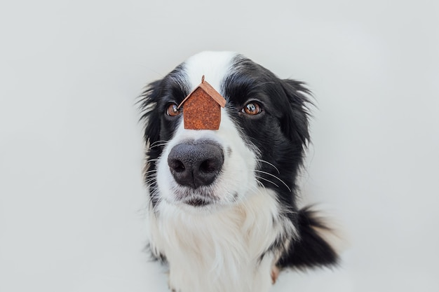 Border collie dog holding miniature toy model house on nose, isolated on white background