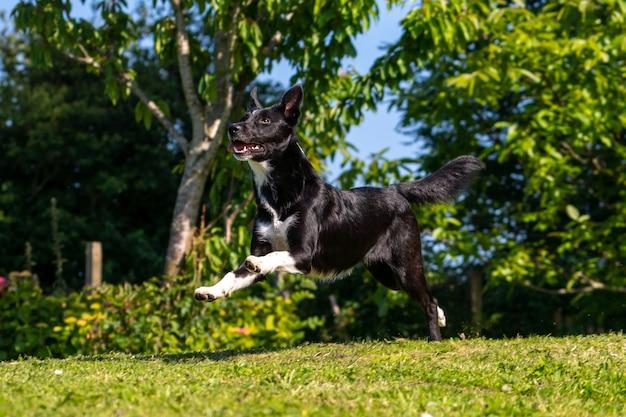 Бордер-колли собака играет с фрисби в зеленом парке с деревьями