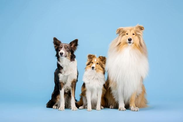 Бордер-колли собака грубый колли и шетландская овчарка в фотостудии на синем