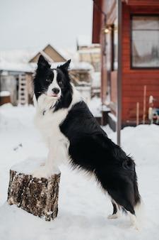 Бордер колли собака стоит на пне