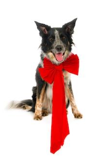 Бордер-колли собака носит гигантский рождественский лук.